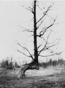 The Lake Forest Trail Marker Tree, photo by Bess Dunn in 1912.
