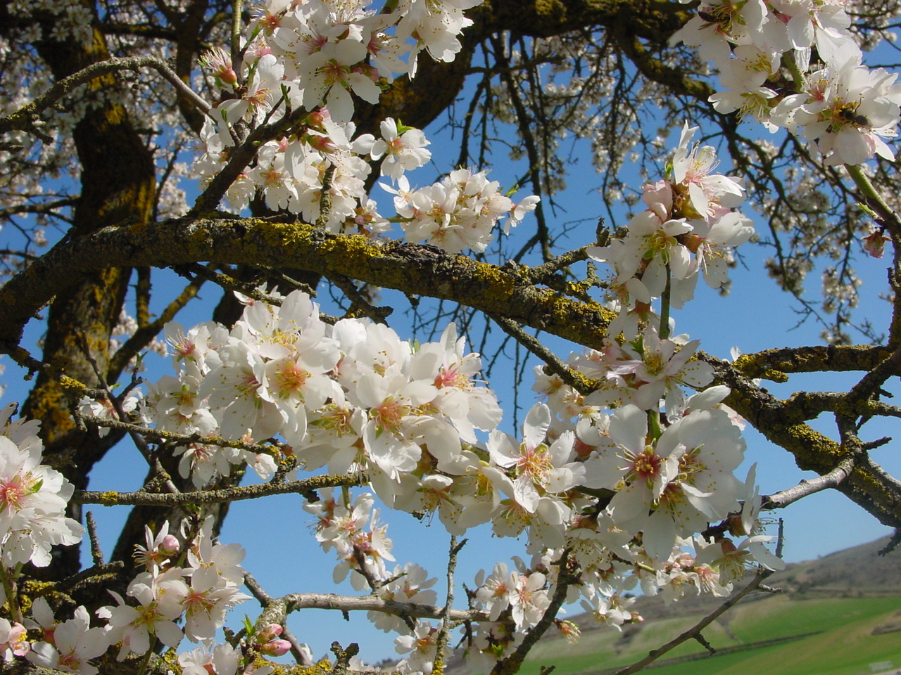 An almond tree in blossom near Urueña in Valladolid, Spain, during Tu BiShvat. Photo by Nicolás Pérez.